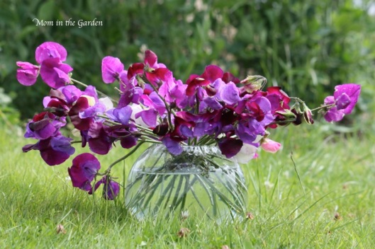 Sweet Peas in front of the sweet peas