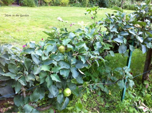 I loved how they worked this cooking apple tree into hedging