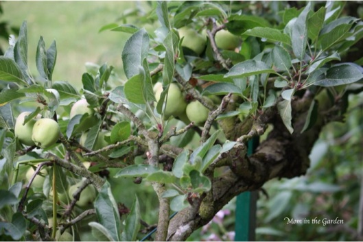 apple tree hedging