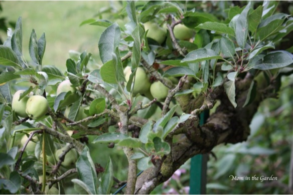 apple tree hedging