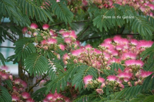 my new favorite: a mimosa tree!