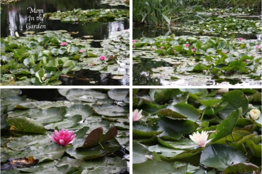 collage of water lilies