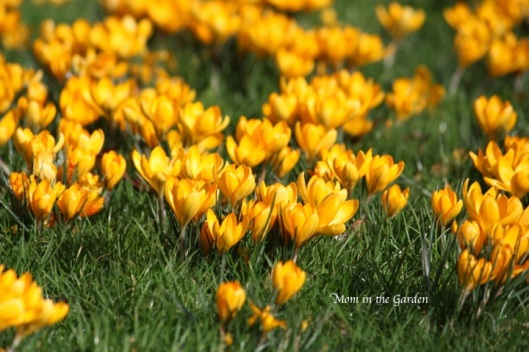 Crocus in the park at DCU
