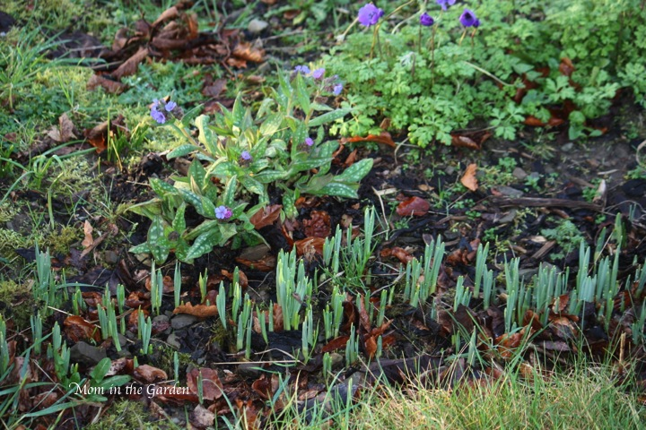 Daffodil bulbs - more signs of spring