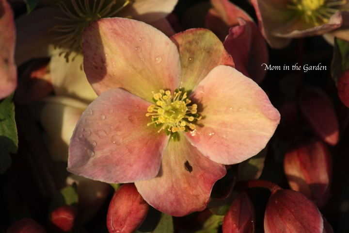 Winter Sunshine Helleborus