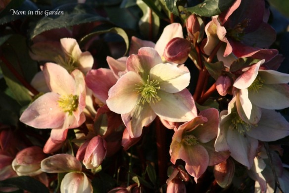 Helleborus Winter Sunshine