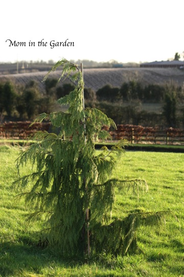 Weeping Cypress Nootka