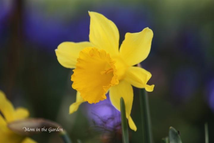 a lone daffodil
