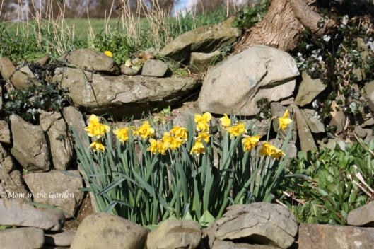 Narcissi blazing starlet in the ditch-wall garden