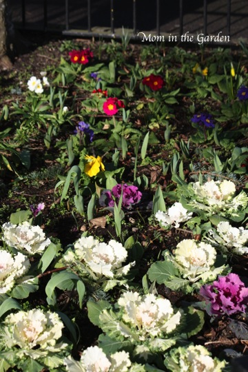 color in the garden with ornamental cabbage and primrose