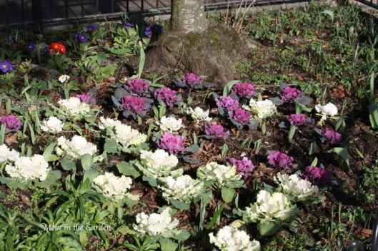 ornamental cabbage in the park