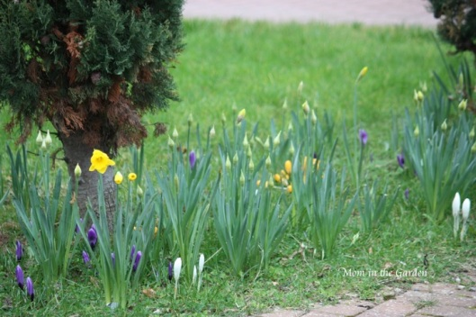 Crocus among the daffodils