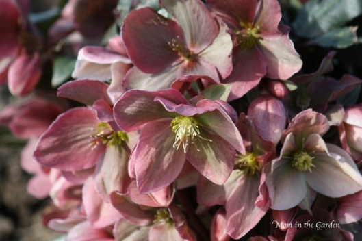 'Winter Sunshine' Hellebore