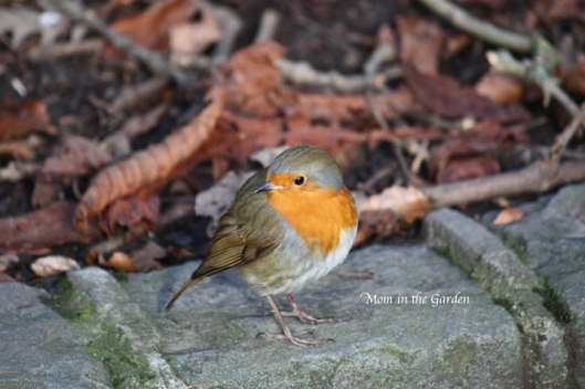 an Irish robin in the park