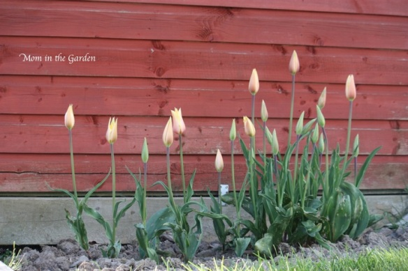 Blushing Lady tulips next to our play house
