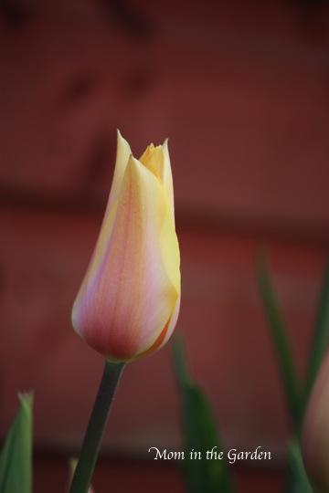 Blushing Lady tulip