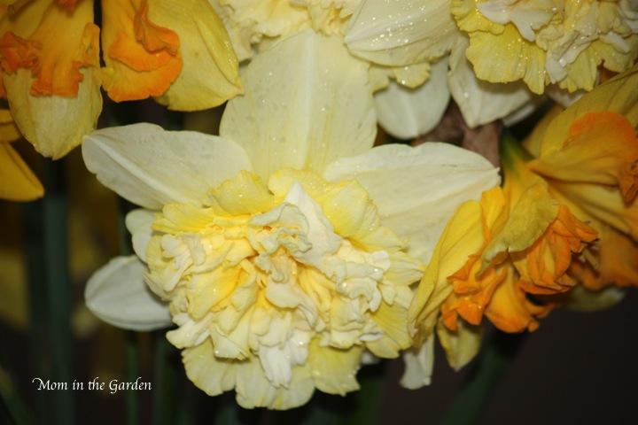 Ice King (carnation like daffodils)