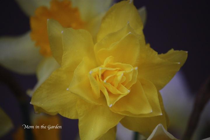 nameless daffodil