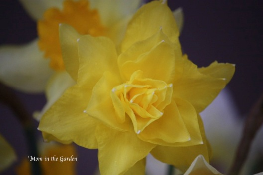 nameless daffodil