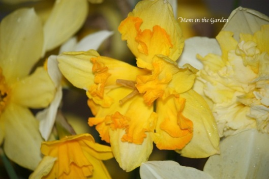 Narcissi Blazing Starlet