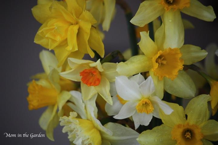 bouquet of daffodils (no flash)