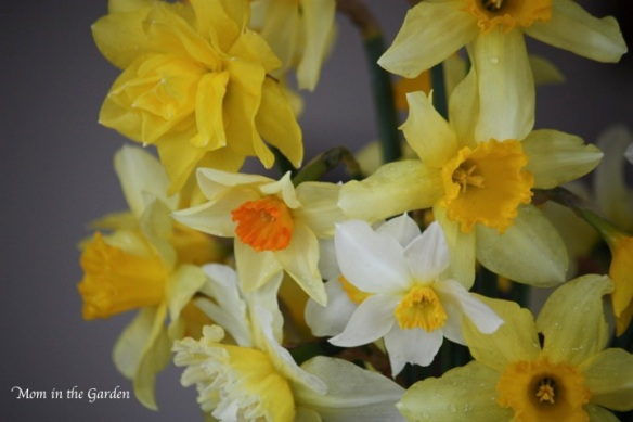 bouquet of daffodils (no flash)