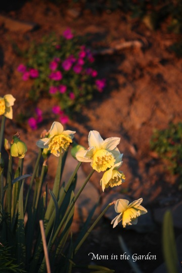 Ice King daffodils in April sunset