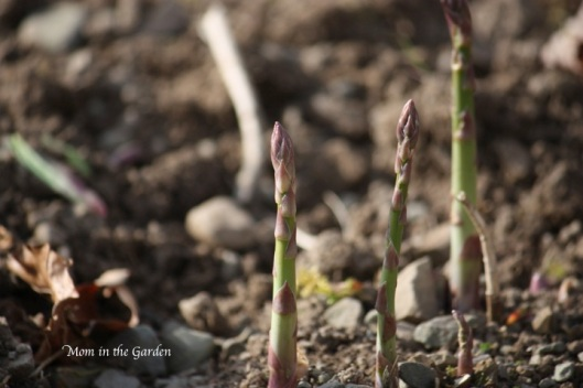 Asparagus growing straight up