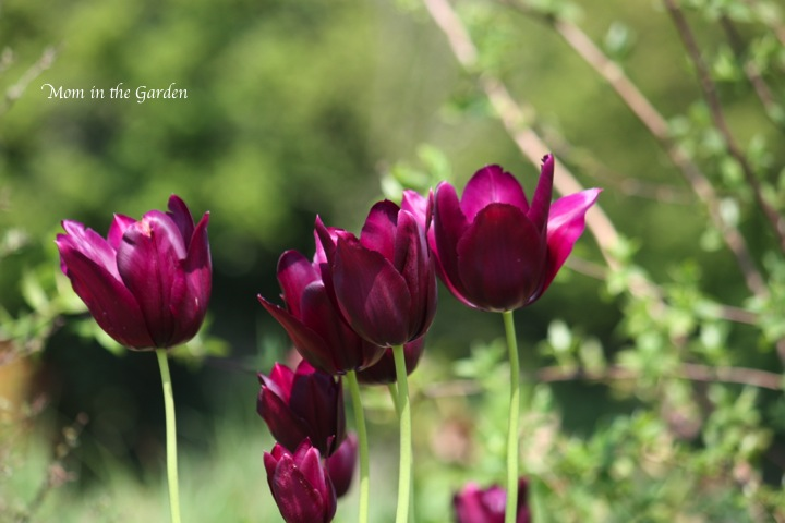 burgundy colored tulips (I am getting quite the collection of colors!)
