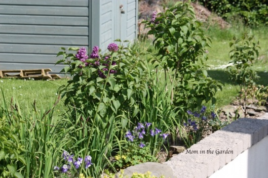 Same garden, but the pink hyacinth are replaced by purple flowers.