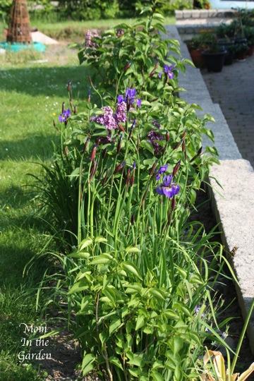 Iris & Lilac