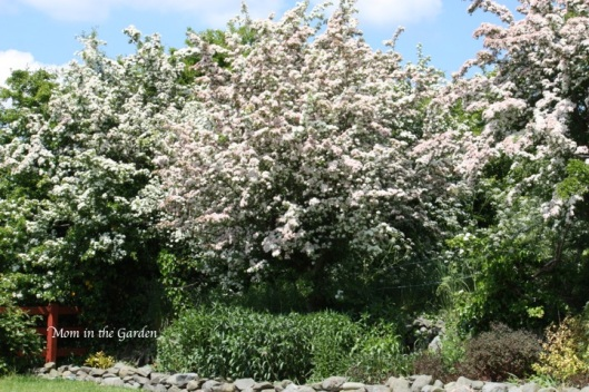 Hawthorn tree in full bloom