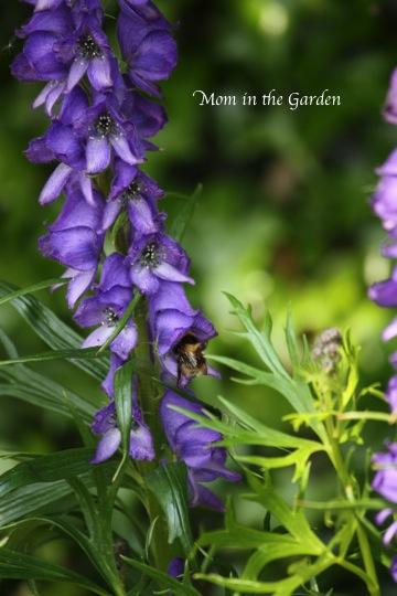 Monkshood & bee