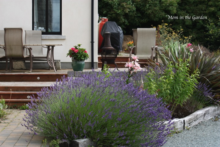 a mature lavender plant