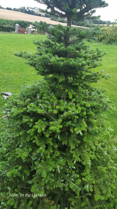 Abieskoreana (which we call our Christmas tree)