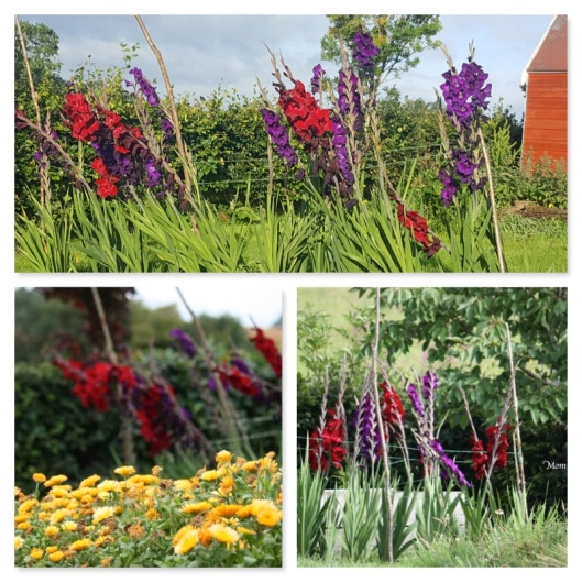 gladiolus with supports