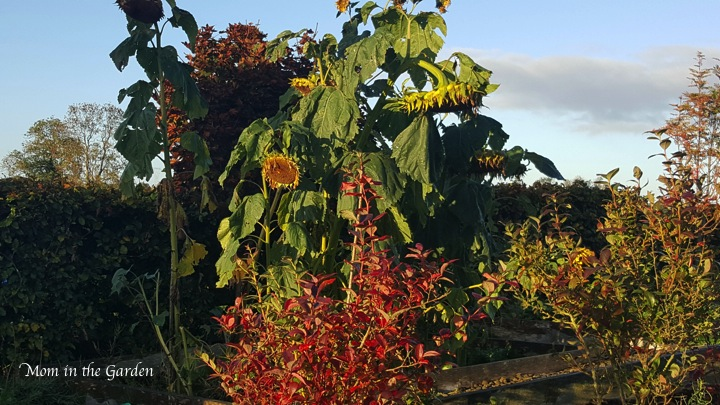 Sunflowers at the end of their lives and the blueberry plant showing off some lovely red coloring