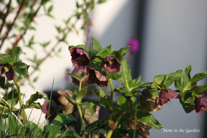 hellebore deep purple