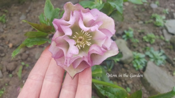Hellebore Frilly Isabelle