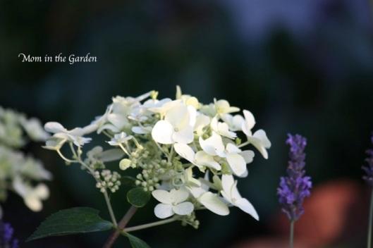 hydrangea paniculata early in the season