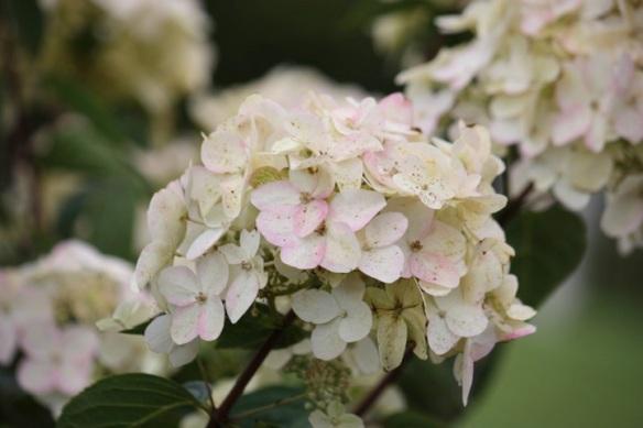 hydrangea paniculata turning pinky