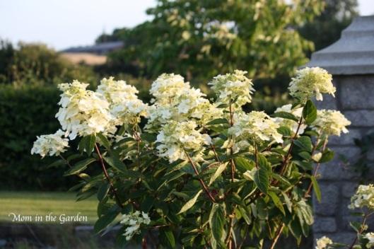 hydrangea paniculata full shrub