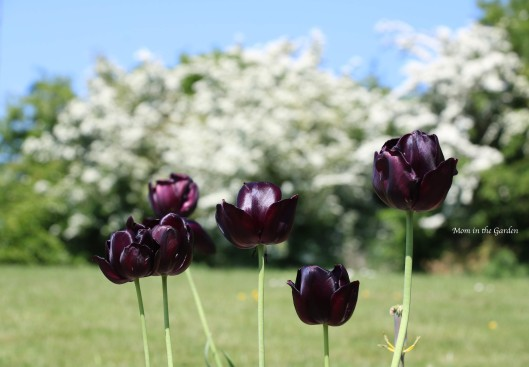 Queen of the Night tulips with a backdrop of Hawthorn trees in flower