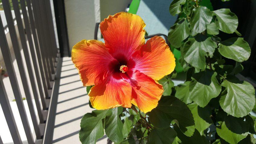 hibiscus plant on balcony