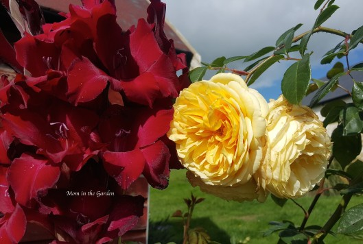 gladiolus flower and roses