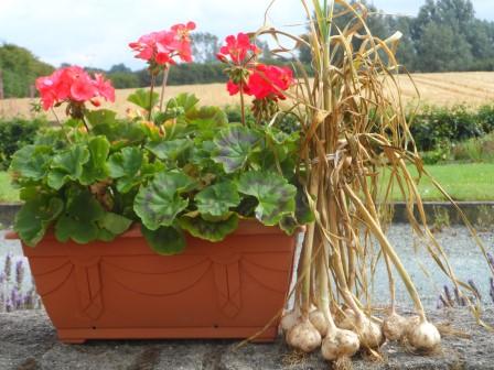 garlic and geranium sitting on wall