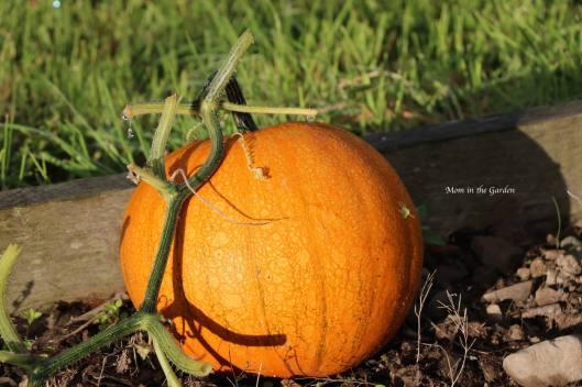 pumpkin in vine