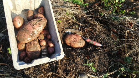potatoes in compost pile
