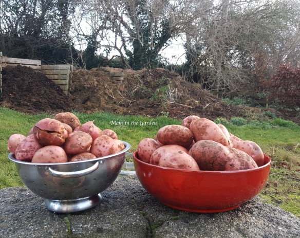 bowls of potatoes in front of compost pile