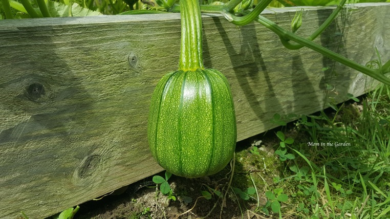 small pumpkin hanging from the vine